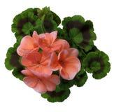 Pelargonium Imágenes de archivo libres de regalías
