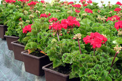 Pelargonium Royalty Free Stock Photography