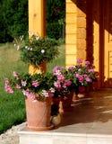 pelargonium zdjęcia royalty free