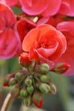 Pelargonium Stock Image