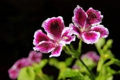 Pelargonium foto de stock royalty free