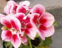 Pelargonium Fotografía de archivo