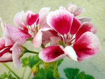 Pelargonium Foto de Stock