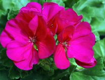 Pelargonium Americana Cherry Rose Royalty Free Stock Photos