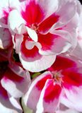 Pelargonium Americana white splash stock photos