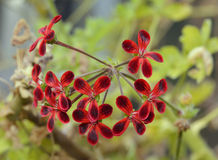 Pelargonium Ardens Stock Photo