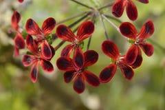 Pelargonium Ardens Royalty Free Stock Photos