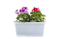 Pelargonium of the balcony pots on a white background. Stock Photo