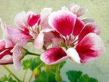 Pelargonium. Stock Photo