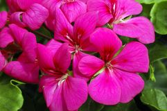 Pelargonium ?blizzard cor-de-rosa? Imagem de Stock