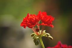 Pelargonium Blossom Stock Photography