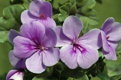 Lavender-blue Ivy Geranium. Closeup of lavender-blue Pelargonium Blue Blizzard flowers against a green background Stock Photo