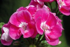 Pelargonium 'Blues'. Common Name: Zonal Geranium A cluster of deep pink with white center zonal geranium blooms Stock Images
