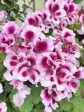 Pelargonium bodziszek kwitnie z białymi i magenta płatkami fotografia stock