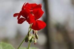 Pelargonium bright red flower Stock Photography