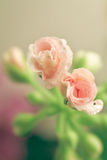Pelargonium bud Stock Photo
