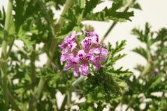 Pelargonium capitatum. Rose geranium. Rose-scented pelargonium. Royalty Free Stock Photography