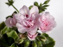 Pelargonium Chiffon Stock Photo