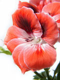 Geranium flower Stock Photo