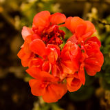 Pelargonium, conocido comúnmente como geranio Fotografía de archivo