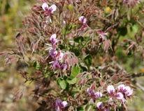 Pelargonium cordifolium, Heartleaf Geranium Stock Image