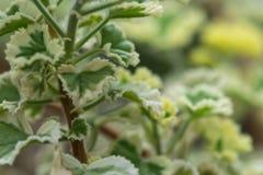 Pelargonium Crispum Variegatum, aromatic plants stock images