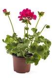 Pelargonium del geranio foto de archivo
