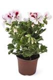 Pelargonium del geranio imagenes de archivo