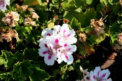 Pelargonium domesticum `Fringed Aztec`. Ornamental with irregularly toothed leaves and white large flowers with slightly irregularly cut petals and red stripe Stock Photos