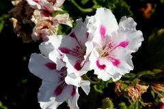 Pelargonium domesticum `Fringed Aztec`. Ornamental with irregularly toothed leaves and white large flowers with slightly irregularly cut petals and red stripe Stock Image
