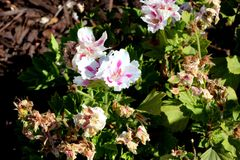 Pelargonium domesticum `Fringed Aztec`. Ornamental with irregularly toothed leaves and white large flowers with slightly irregularly cut petals and red stripe Stock Photography
