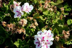 Pelargonium domesticum `Fringed Aztec`. Ornamental with irregularly toothed leaves and white large flowers with slightly irregularly cut petals and red stripe Stock Photo