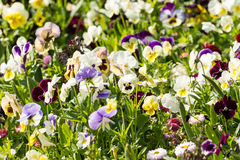 Pelargonium Field Stock Photo