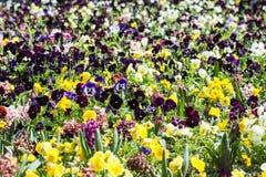 Pelargonium Field Stock Images