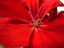 Pelargonium Flower. Macro of a Pelargonium flower Royalty Free Stock Image