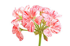 Pelargonium flower Royalty Free Stock Image