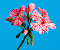 Pelargonium flower Royalty Free Stock Photos