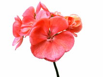 Pelargonium flower Stock Photo