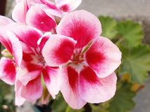 Pelargonium. Flower pelargonium in the garden Royalty Free Stock Photography