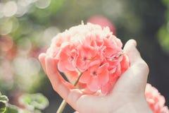 Pelargonium flower Stock Photos