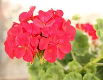Pelargonium flowering in summer. Close-up picture royalty free stock photography
