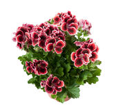 Pelargonium in a flowerpot, isolated on white background Royalty Free Stock Image