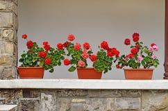 Pelargonium flowers Stock Photos