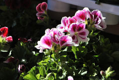 Pelargonium flowers. Close up of blossoming Pelargonium flowers Royalty Free Stock Photo
