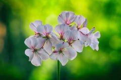 Pelargonium flowers closeup. Horseshue pelargonium or Pelargonium zonale. Stock Image