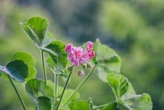 Pelargonium flowers closeup. Horseshue pelargonium or Pelargonium zonale. Royalty Free Stock Photography