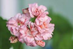 Pelargonium flowers closeup. Horseshue pelargonium or Pelargonium zonale. Stock Images