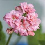 Pelargonium flowers closeup. Horseshue pelargonium or Pelargonium zonale. Royalty Free Stock Images