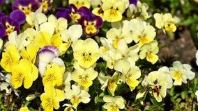 Pelargonium Flowers Garden stock video