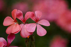 Pelargonium flowers Stock Image